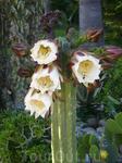 Много цветущих кактусов