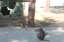 Янгонский зоопарк, обезьяны настолько вольготно себя чувствуют, что проигнорировали наши бананы, удостоив своим вниманием лишь брошенный им напоследок ...