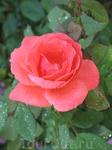 роза с лилии
