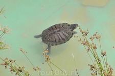 Плывёт одна из самых маленьких черепашек, просто удалось снять очень крупно. Реальный размер по панцирю сантиметров пять.