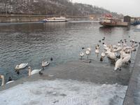 Набережная Влтавы. Гуси-лебеди. Вот где они зимуют. А еще в Праге полно скворцов, поют, как весной