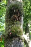 На многих деревьях можно увидеть целые колонии растений паразитов.
