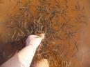 рыбное спа по сахалински:)) вода чистейшая - просто глиняное дно