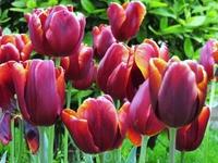 Тюльпаны, фестиваль тюльпанов