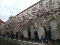 Цветущие магнолии в саду дворца Валленштайн