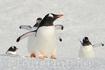 Колония пингвинов генту