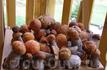 Настоящие карпатские грибы)))))))))