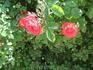 Розы судацкие 3.