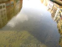 река Оньяр и ее обитатели - довольно крупные карпы, которые грелись на мелководье :)
