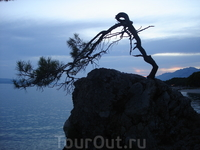 Такая вот сосна растет на скале пляжа Брела