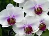 Фотография Сингапурский Парк Орхидей