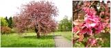 В ботаническом саду Калининграда цветет яблоня