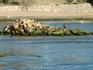 Баклан чистит перья на каменном островке.Жаль чомги улетели - не успела сфотографировать.