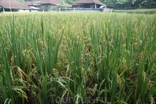 Колосится рис