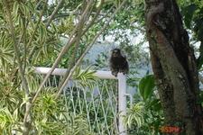Рио-де-Жанейро. На горе Урка живут вот-такие обезьянки мармазетки