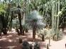 Кактусы в саду Мажореля, что  в Марракеше - такое разнообразие видов и форм!