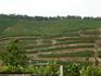 Виноградники в окрестностях Мейсена