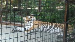 Уссурийский тигр. Зоопарк