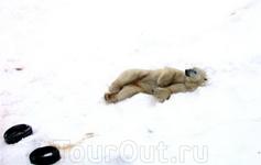 Белый медведь попрошайничает