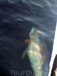 Теплоходная экскурсия к Кара-дагу. Дельфины сопровождают все поездки по морю.