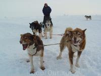 Собачьи упряжки - популярный транспорт в суровых арктических условиях.