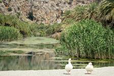 ....с двумя веселыми гусями-попрошайками на пальмовом пляже Превели