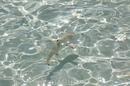 Рифовые акулки  постоянно плавали у берега и лопали маленьких рыбок.