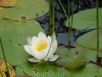 лилии в озере