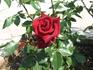 Розы судацкие 2.