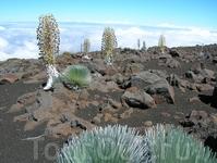 Мауи-растут только здесь
