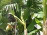 В Адлере по ул. Ленина.Плоды банана конечно видели все. Многие видели как растет банан, то есть его траву. А вот цветы, соцветия и зачатки бананчиков. ...