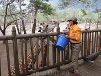 Потом посмотрели как кормят жирафов