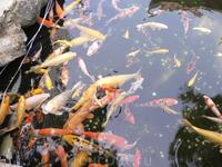 Золотые рыбки живут при храме.