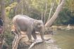 Привели на купание слоненка