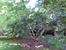 Огромное инжирное дерево как напоминание о том, что здесь был сад.