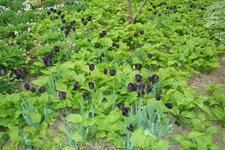 Черные тюльпаны.