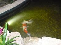 Такие рыбы красивые плавают,жаль,что свет гасят и не успевали сфоткать.Но вроде бы ничего получилось!