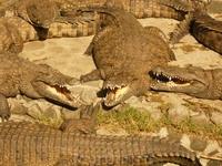 crocodile pk