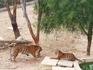 спор тигров
