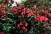 цветы в садах Боболи