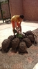 Там нам разрешили покормить молодых черепах свежими листьями