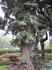 "Деревья в парке ""Санта-Катарина"""