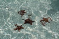 звезды на ракушечном острове самые большие из всех .что я видела на Кубе, и там их больше всего сосредоточено в прибрежной воде