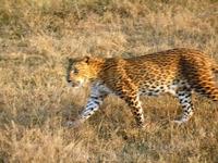 Увидеть так близко ягуара даже на сафари - большая редкость. Гонялись за ним часа два.