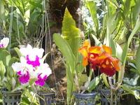 Орхидеи в Нонг Нуче