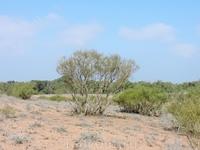 В засуху деревья сбрасывают листья и ждут дождей... иногда долгие месяцы