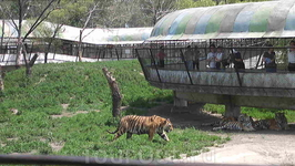 Тигры гуляют на свободе, а люди за решёткой!!