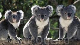Забавные коалы.