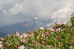 "Рододендрон ""розовый"" на фоне главного кавказского хребта"