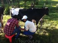 Каждый должен испить колумбийского парного молока